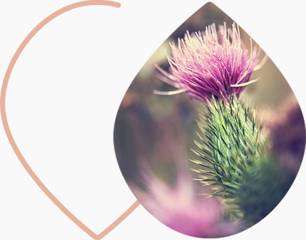 Fleur de bardane