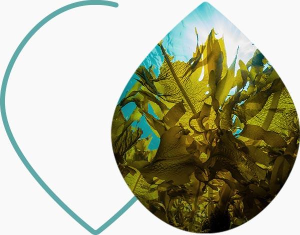 Les algues, qui contiennent du beta-carotène