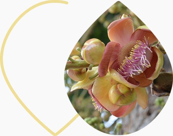 Fleur de boswellia
