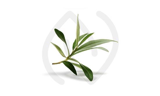 Feuille d'olivier