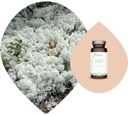Lichen boréal